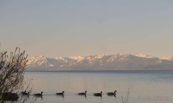 Canadian Geese Lake Tahoe Karla Mena Images